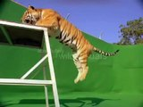 Smart Bengal Tiger Jumping Over Obstacles
