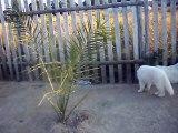 douchka ifea chawki  du Domaine de pegase BERGER BLANC SUISSE berger blanc suisse chien chiot Berger Blanc Sussechen CHI