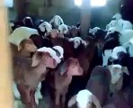 Des bébés chèvre répondent quand on leur parle