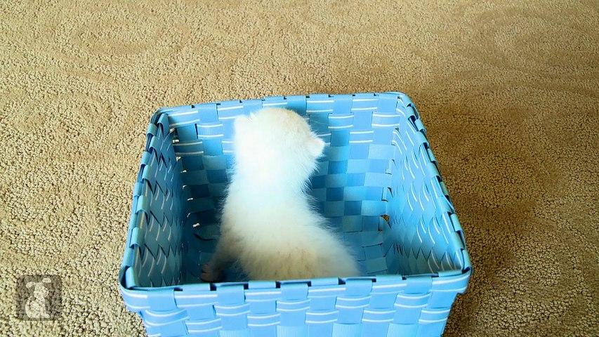 Baby Fluffy Kitten In A Blue Basket