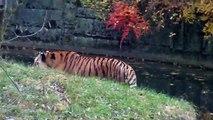 Big Cat Sound - Siberian Tiger Feeding at the Munich Zoo - Tierpark Hellabrunn