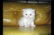 Cute White Persian Cat with Her Kittens! Princes is pregnant