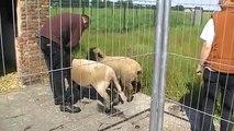 Hampshire schapen in de wei   kennismaking