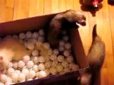 Ferrets in a box @ Funny Animal Videos   Funny Pet Videos, Funny Cat Videos, Cute Pets