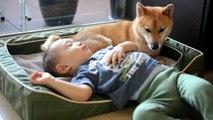 柴犬ゴン太とふみ君39 ねむいねむい二人 Shiba Inu & Kid