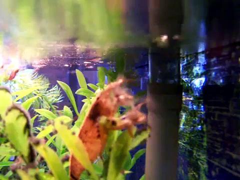 shrimp feeding