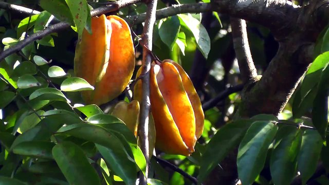 Healthy benefits ---Star Fruit--very good fruit.