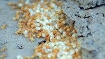 Colonie de fourmis Lasius flavus