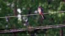 Amur Falcon - Falco amurensis