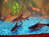 HUGE BALA SHARK, IRIDESCENT SHARK, TIN FOIL BARB FRESH WATER AQUARIUM