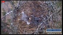 2015 03 04 Berry College Eagles:  Sprawled Eaglets