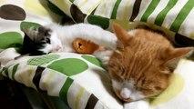 寝たい猫と遊びたい子猫が可愛すぎる Kittens sleeping cute