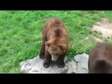 Un Ours qui danse sur la musique du Madison !