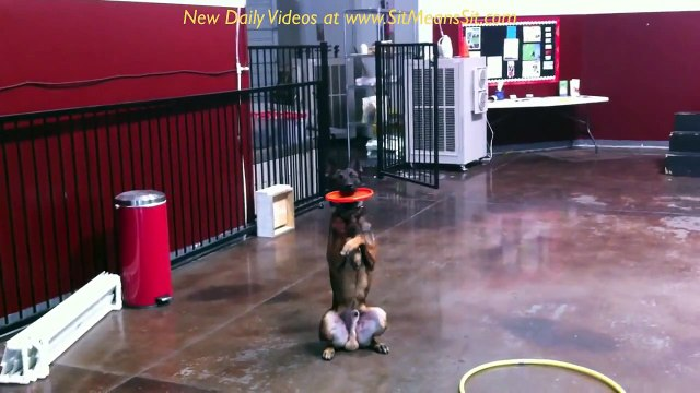 Dog Training - Sit, Down, stand, place, out, fetch, beg, watch