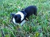 Boston Terrier Puppy 7 weeks - exploring. SO CUTE