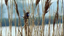 Bluethroat sings and flies / Blauwborst zingt en vliegt (Luscinia svecica)