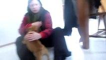 Boxer Vs. Staffie pups