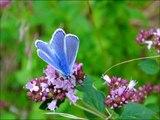 L'origan (ou marjolaine): une plante très utile aux insectes pollinisateurs et à la biodiversité.