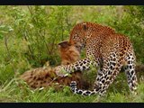 Leopard Savagely attacks Hyena. Leopard viciously attacks hyena to steal carcass.