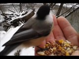 Hand Feeding A Black-Capped Chickadee Next To The Cuyahoga River 2-21-13