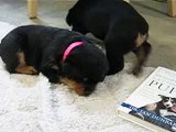 Cuddling Rottweiler Puppies
