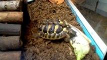 Repas de la tortue
