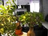 Gualdo Tadino, ficus benjamin e ficus microcarpa ginseng, 4 bellissimi bonsai....AVI