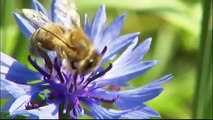 Eine Weide nur für Bienen - Landesschau Baden Württemberg - SWR