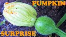 Big Giant Pumpkin Plants Growing From Seeds - Backyard Garden Gardening Planting Video Diary Jazevox