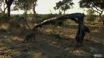 Un léopard bouffe un singe et adopte son petit