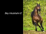 Bey Intuishahn E ~ 16hh 2003 Champion Bay Arabian Stallion ~ Enzo x Bey Unforgettable (by Bey Shah)