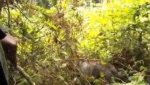 Mountain gorillas rustle through Ugandas forest