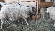 Brebis Mouton de race Charmoise mangeant du foin en bergerie 120128M041