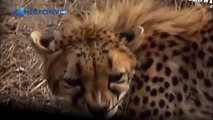 Cheetah attacked reporter. Cheetah attack the people! / Animal Attacks on Human