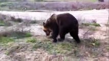 Funny Animals Videos | Funny Bear Videos | Bear Videos | Bear Documentaries | Nature Documentary