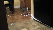 Italian Greyhound  love playing with toilet paper !