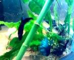 riproduzione betta splendens, betta spawning