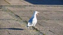 Larus argentatus - Silbermöwe - Gaivota-prateada - European Herring Gull