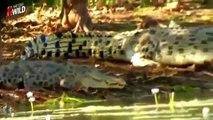Documental Leones Vs Cocodrilos Animales Salvajes | Documentales NatGeo Wild