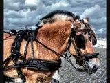 Le Fjord, un poney légendaire