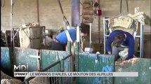 ANIMAUX : Le Mérinos d'Arles, le mouton des Alpilles