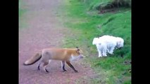 Animal Videos | Fox Documentaries | Foxes Video | Red Fox Videos | Arctic Fox | Nature Documentary