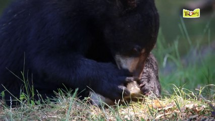 Les ours mangent des glaces !