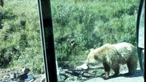 Bear Eats Bike
