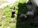 Hens and young chickens - out of the house. Kwoki i małe kurczaki - wyjście z kurnika.