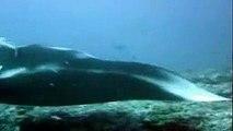 Mantas y tiburon ballena