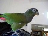 LuLu the talking Maximilian Pionus Parrot- Good Morning, Good Boy, Lulu, Gimmie Kiss