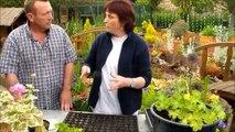 Jardinage:Bouture de geranium lierre et geranium pelargonium
