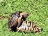 Schildkröten-Liebesunfall