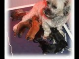 Lhasa Apso x Shih Tzu puppies (1)